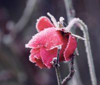 rosa ghiacciata